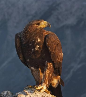 An eagle on a rock