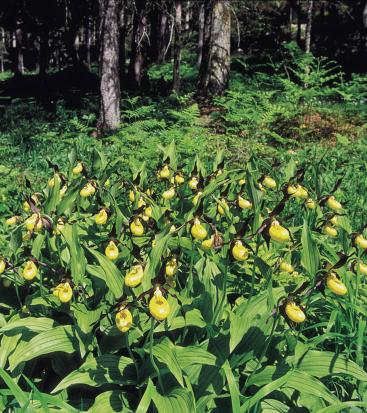 Flowers with yellow blooms on the ground of a forest
