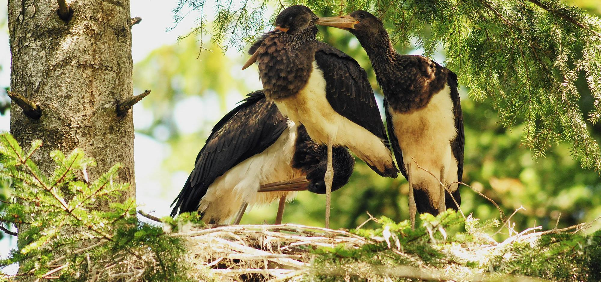 Young storks in the nest on a tree