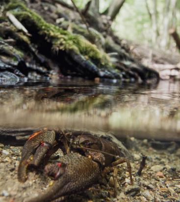 A crayfish under the water