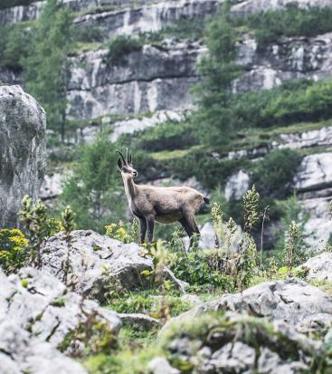 A chamois stands on rocks
