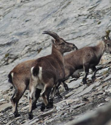 Ibexes go up a path with stones