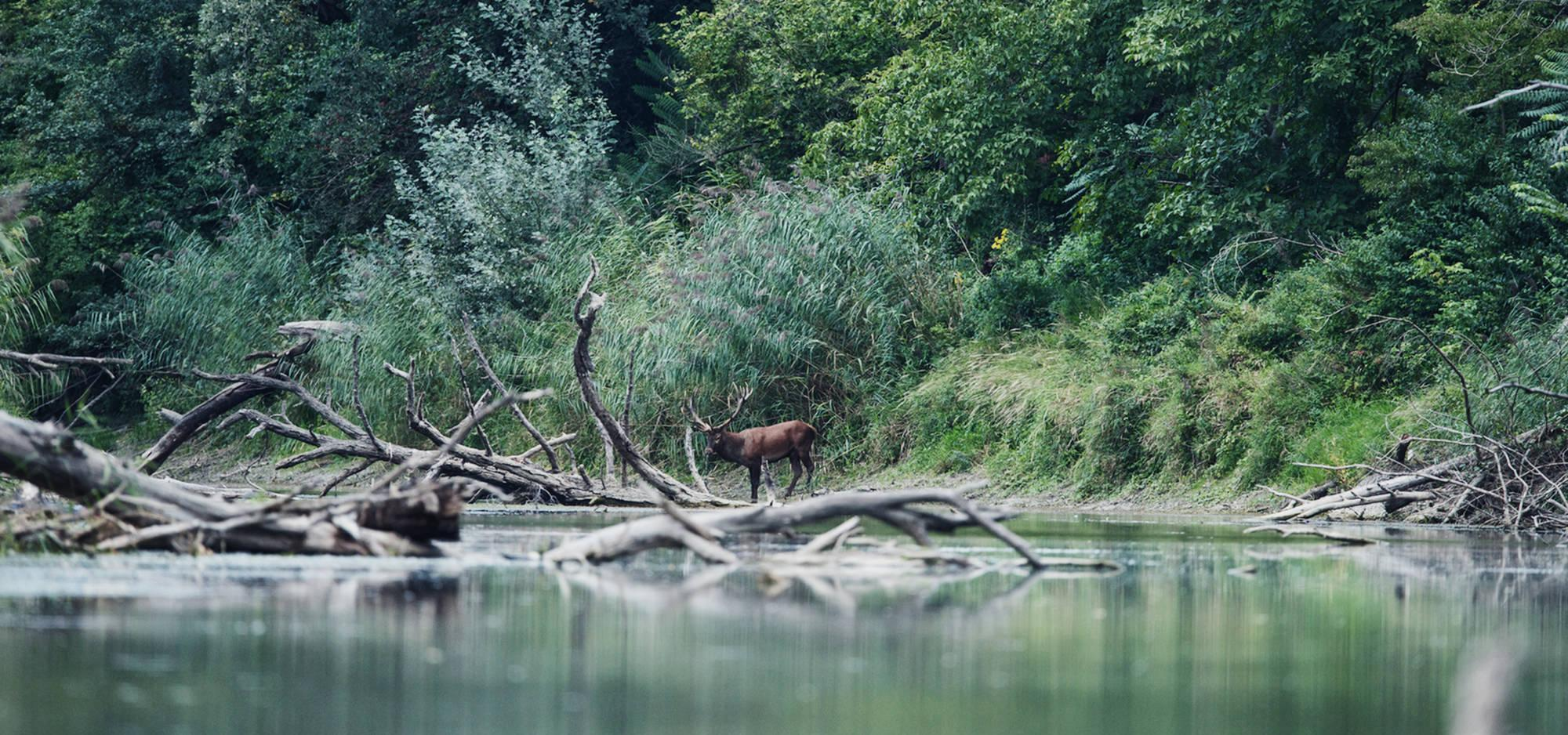 A deer by the river